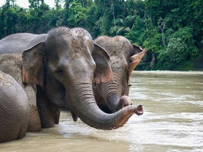 Nasib Gajah Sumatera di Bengkulu Makin Memprihatinkan