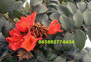 Jual sphatodea bunga merah dengan harga murah