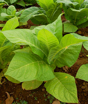 what chemicals are in tobacco leaves
