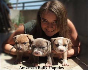 Dogs Gallery Origin And Description Of American Bully
