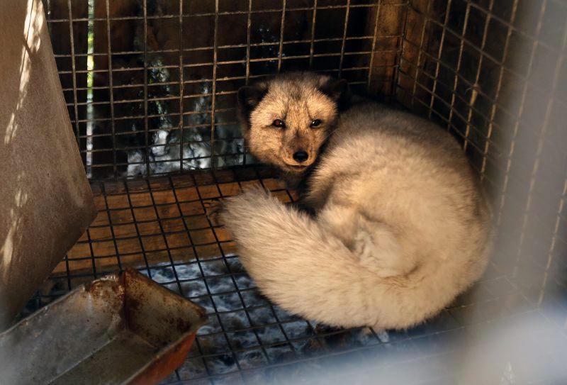 Raposa confinada numa pequena jaula de metal numa quinta de produção de peles