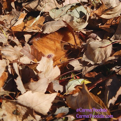 Guinea pig eye in the leaves