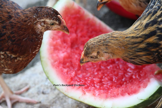 Pam's Backyard Chickens: OMG! It's a Roo! How to Tell if You Have a