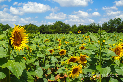 Sunflower Farm in Rutledge, GA