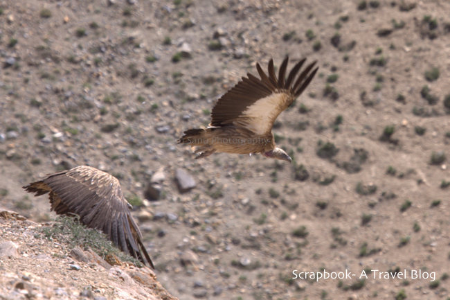 Himalayan Griffon Vultures at Kibber Wildlife Sanctuary Spiti Valley Himachal Pradesh