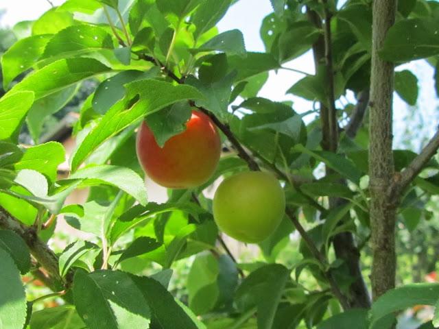 Prunus dasycarpa