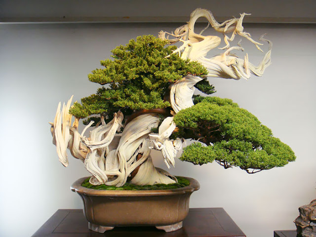 cuanto cuesta un bonsai chokan