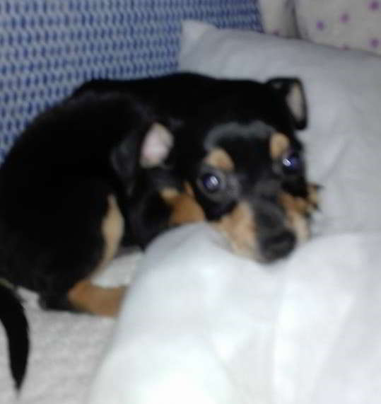 cachorro cruce mini pinscher