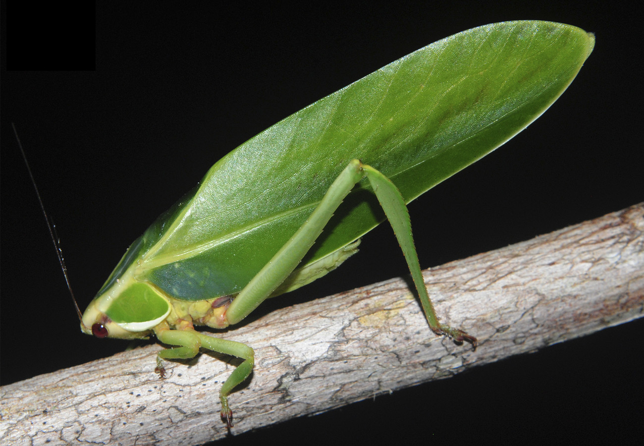 A new genus of katydid, from the Amazon