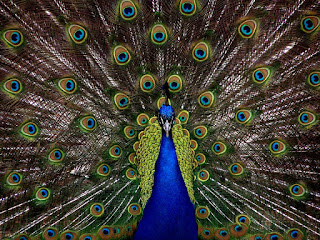 Peacock Information in Hindi