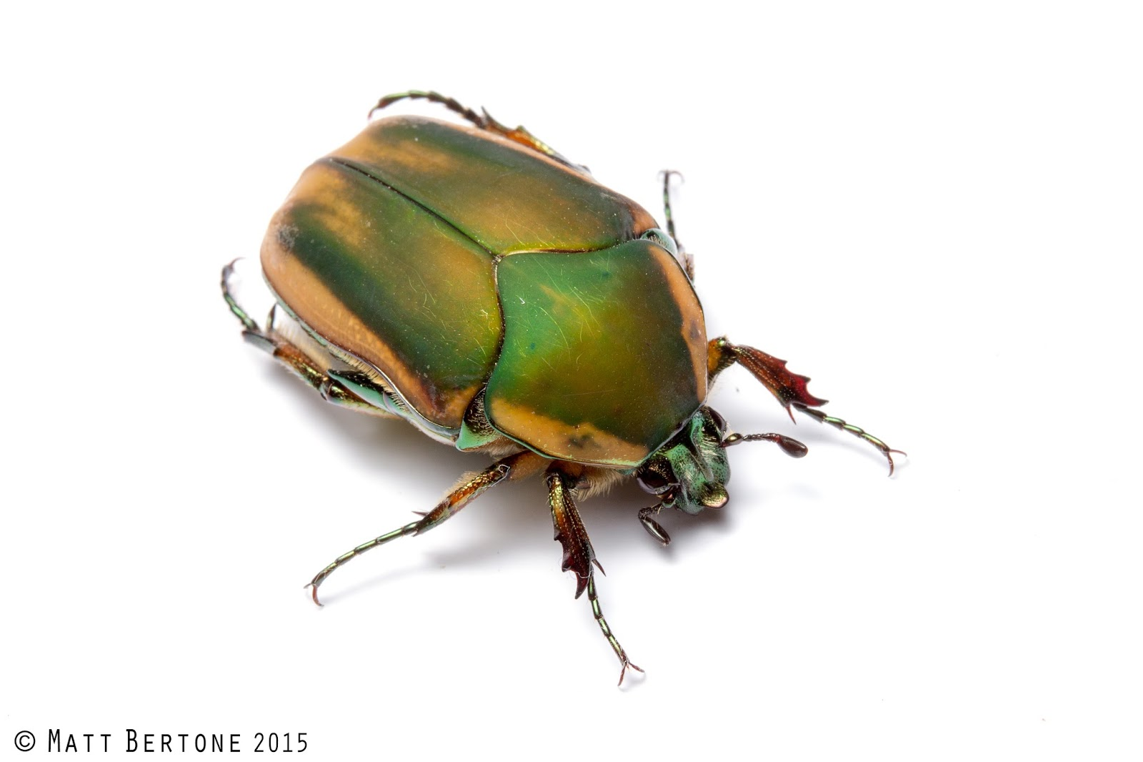 Insects R Gone NCSU PDIC: June Beetle...