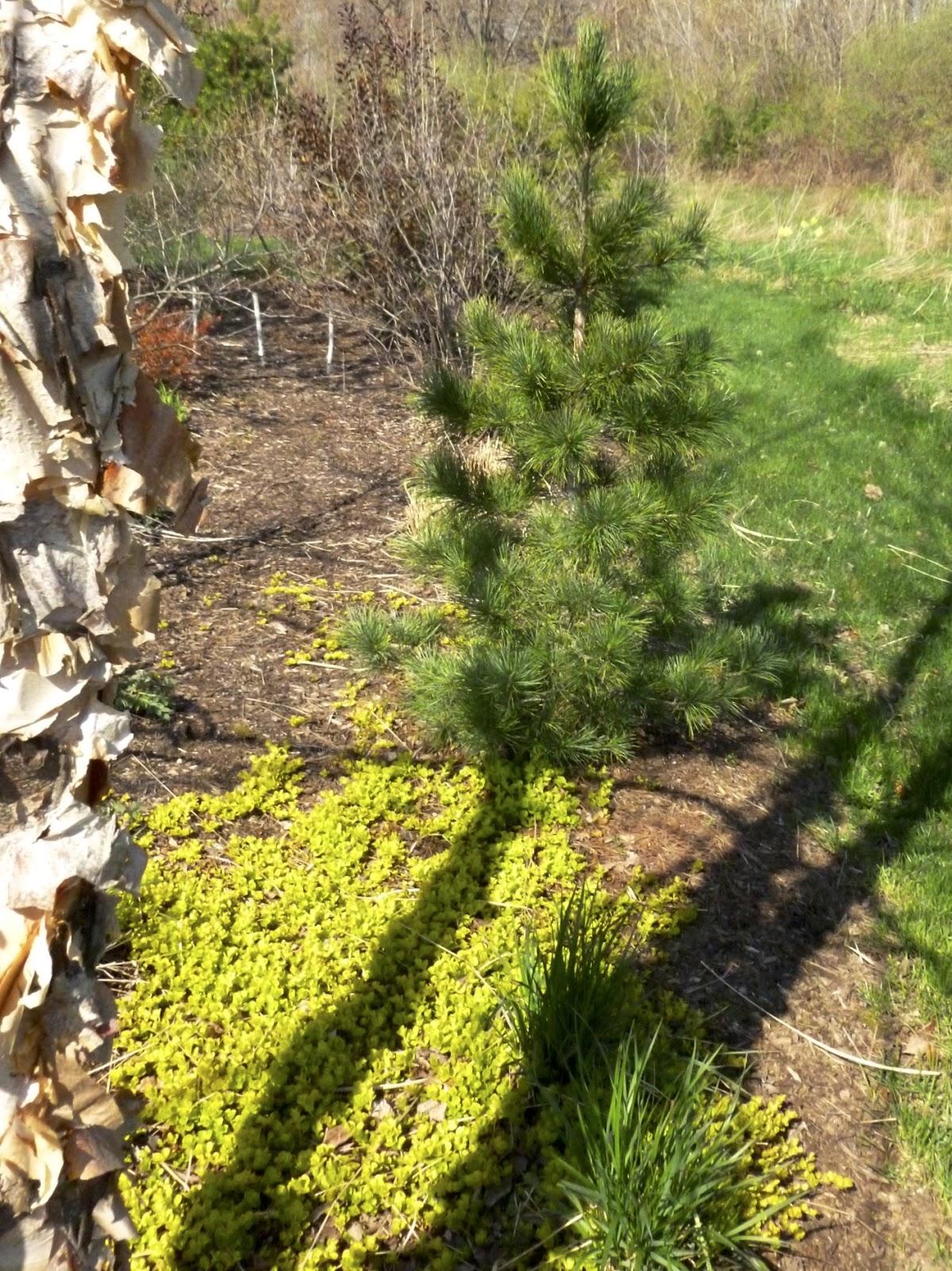 Goldilocks Creeping Jenny Lysimachia Nummularia: Plant Inventory: Lysimachia Nummularia/ Creeping Jenny
