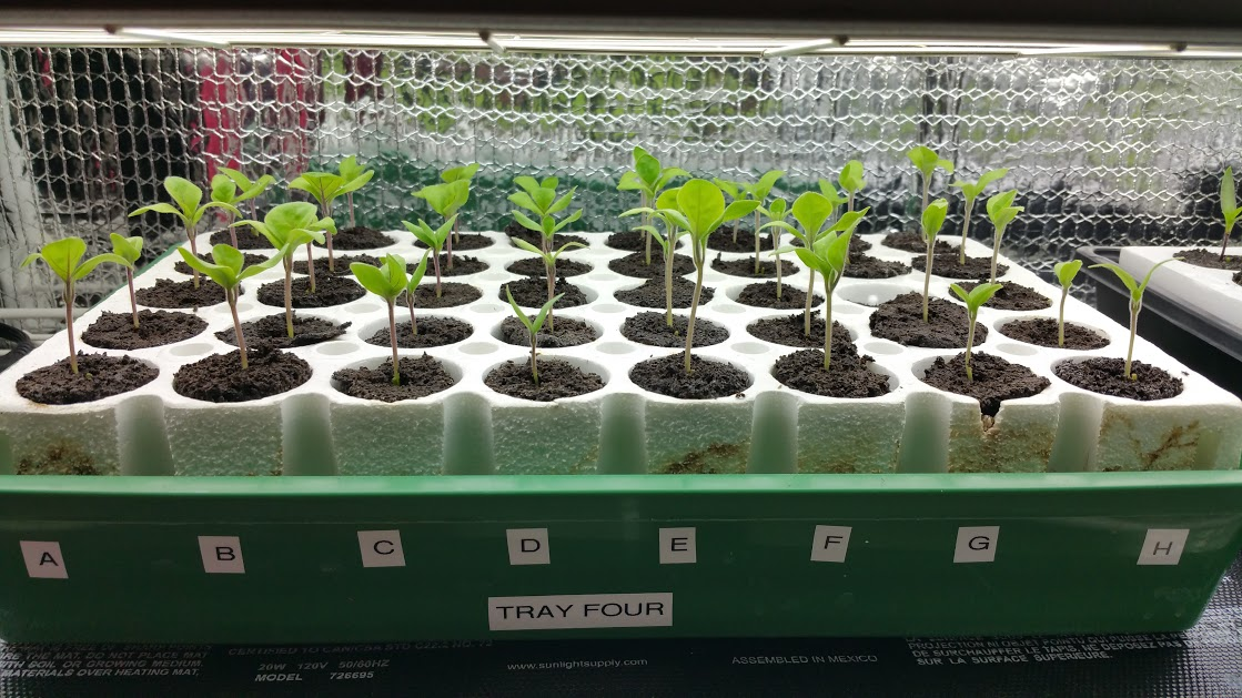 seedlings and I am trying Patio Hybrid and Satin Moon Hybrid both are shorter container varieties that should do well in my Alaska Grow Buckets