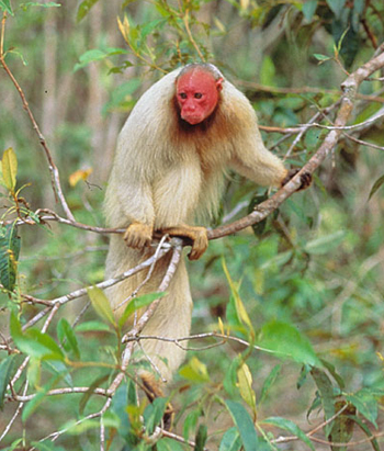 Uakari | A-Z List of 125 Rare Albino Animals [Pics]