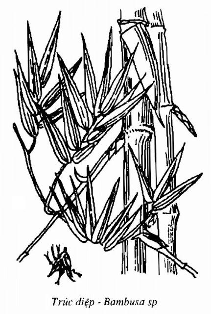 Hình vẽ Trúc Diệp - Bambusa sp - Nguyên liệu làm thuốc Chữa Cảm Sốt