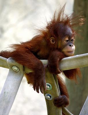 Funny Animals Funny Orangutan Pictures Images