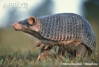 Southern naked tailed Armadillo
