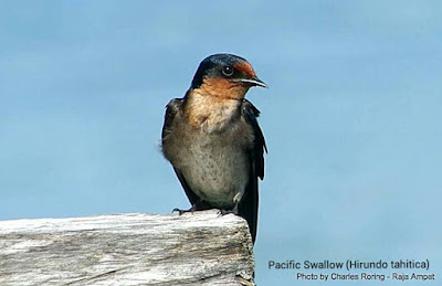Pacific Swallow (Hirundo tahitica)