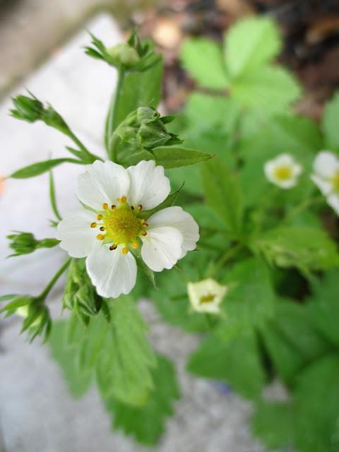 ahomansikka, kukka, kesä