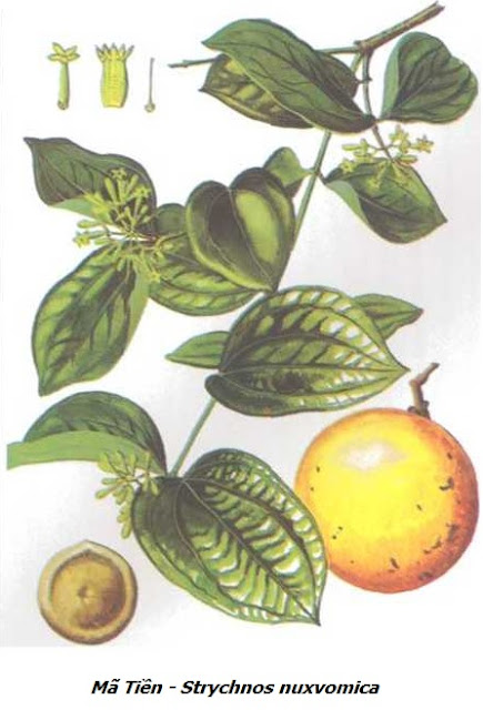 Mã Tiền - Strychnos nuxvomica - Nguyên liệu làm thuốc Chữa Tê Thấp và Đau Nhức
