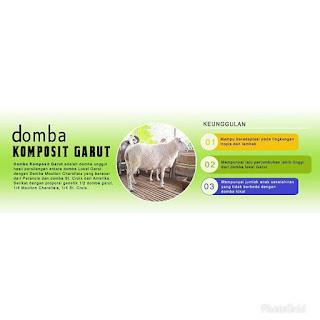 Domba Komposit Garut  baru