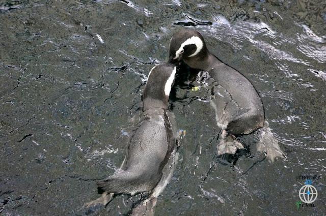 pingwiny lizbona