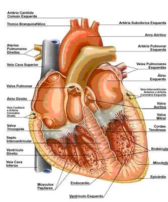 Anatomia Veterinária Aparelho Cardiovascular
