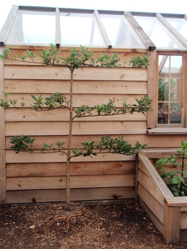 Magnolia French Style  Espaliered Apple Tree for Small Spaces