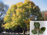 Kayın ağacının uzaktan bir görüntüsüyle birlikte yakınlaştırılmış yaprak ve meyveleri