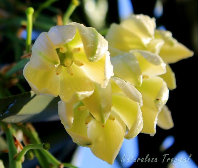 Floración característica de las plantas del género Yucca, conocidas popularmente como Yucas del Desierto