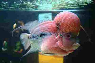 ikan Louhan Super jenong