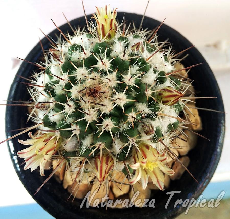 Otra foto del cactus Mammillaria voburnensis