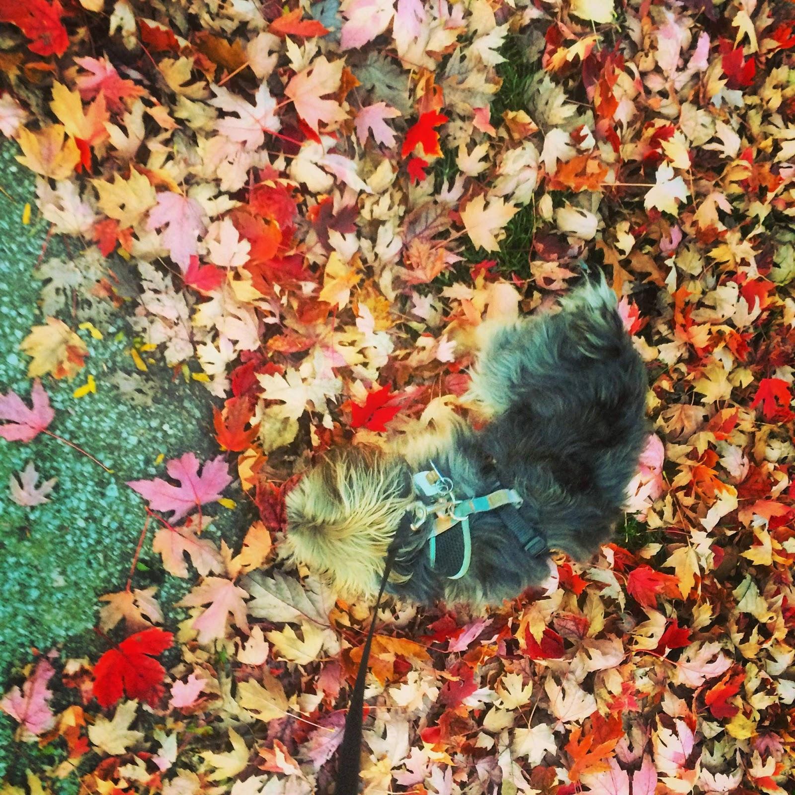 sir yorkie charlie in the leaves