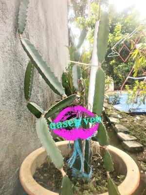 Pokok Buah Naga