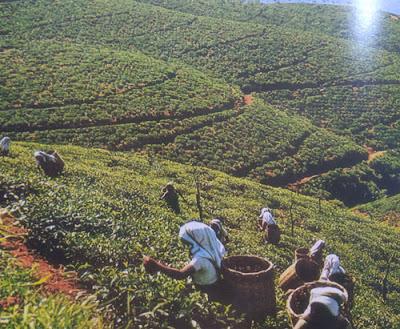 Foto Perkebunan teh Sri Lanka