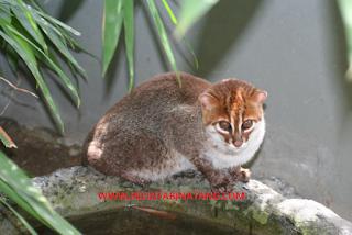 Cara memelihara kucing hutan serta perawatannya