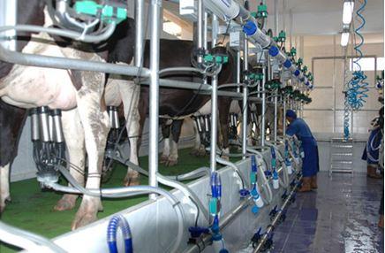 Perbezaan Nufael Susu Kambing dan Susu Lembu