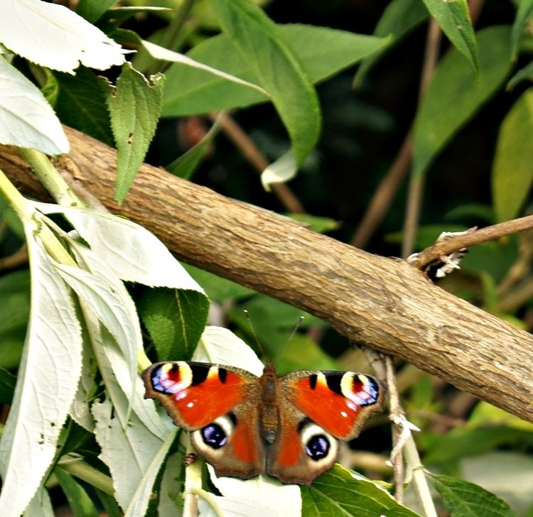 Blog + Fotografie by it's me! - ein Pfauenauge auf einem abgebrochenen Ast vom Sommerflieder