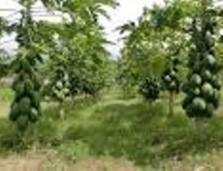 cara menanam pohon pepaya