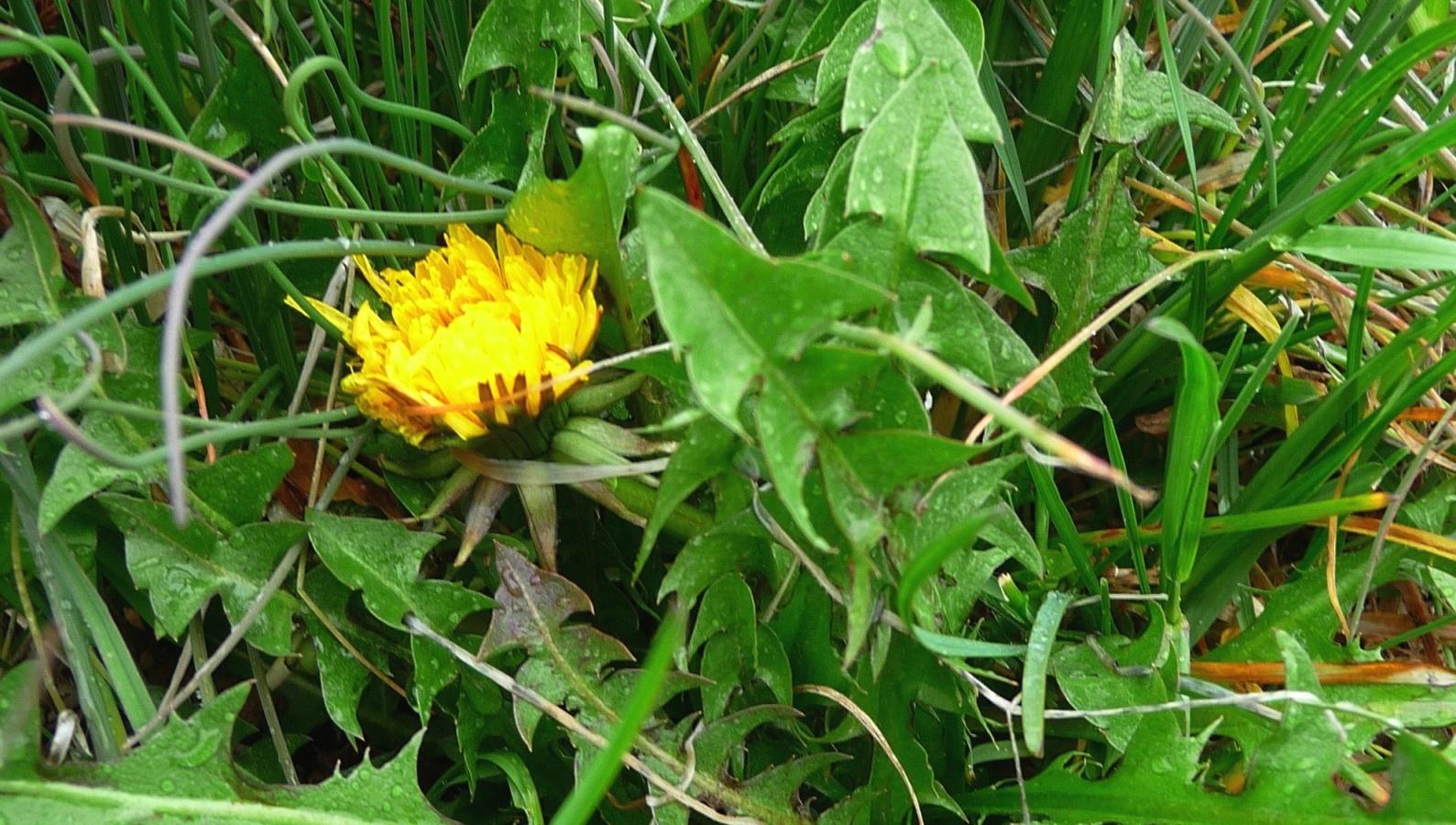 Terre alte insalata di tarassaco e fiori for Ricette in cucina