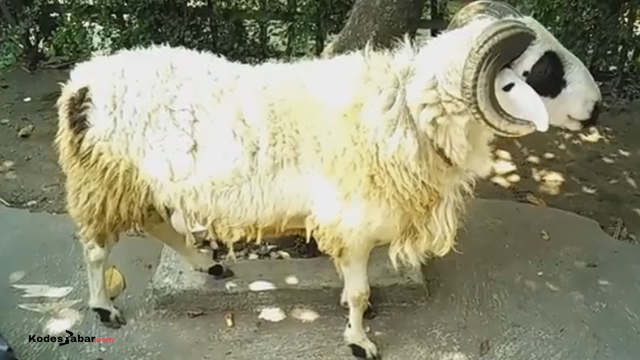 Tata Cara Menangani Hewan dan Daging Kurban