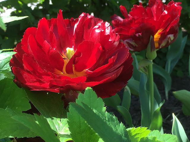 Tulipaner som ser ut som roser - Utsprunget og vakker :)