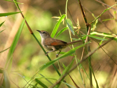 Rufous fronted Thornbird