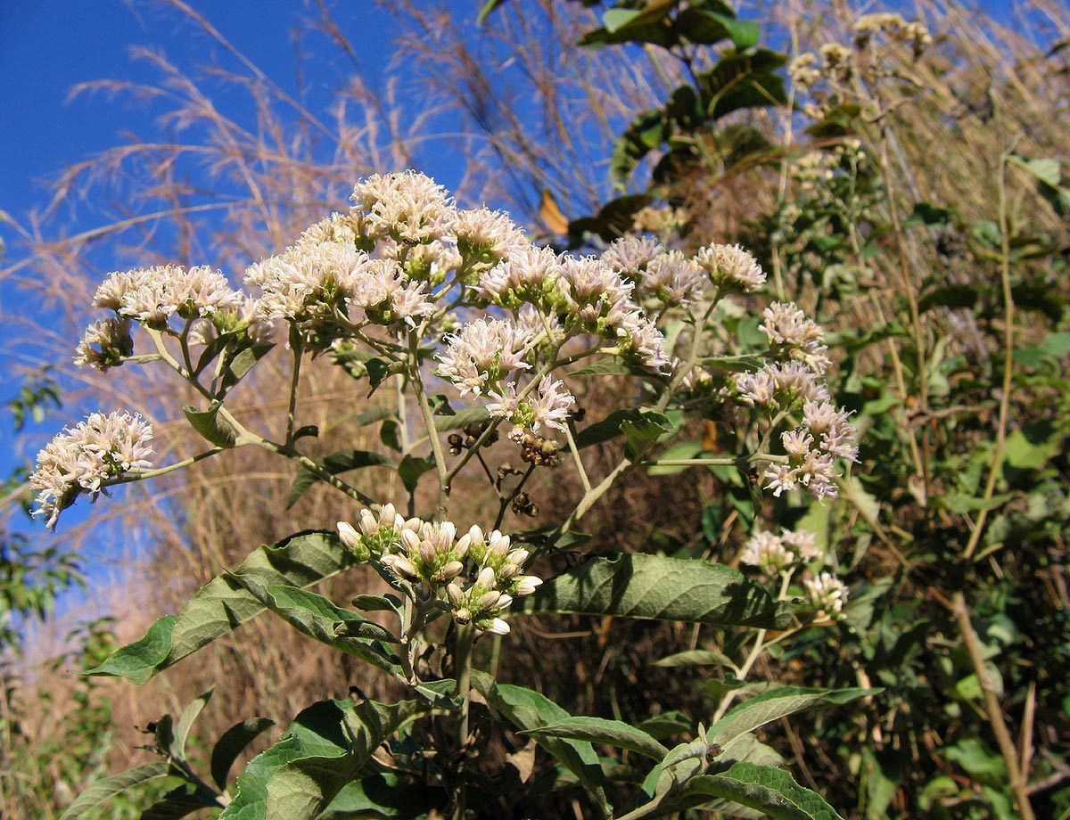 Bitter Leaf (Vernonia Amygdalina) Overview, Health ...