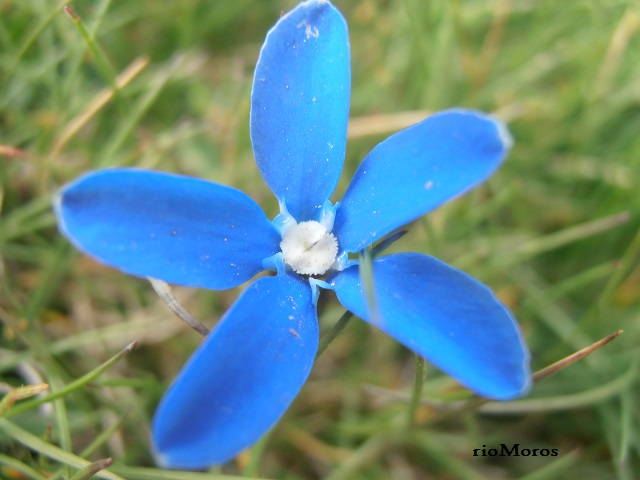 Flor de Gitanilla nevada Gentiana sierrae