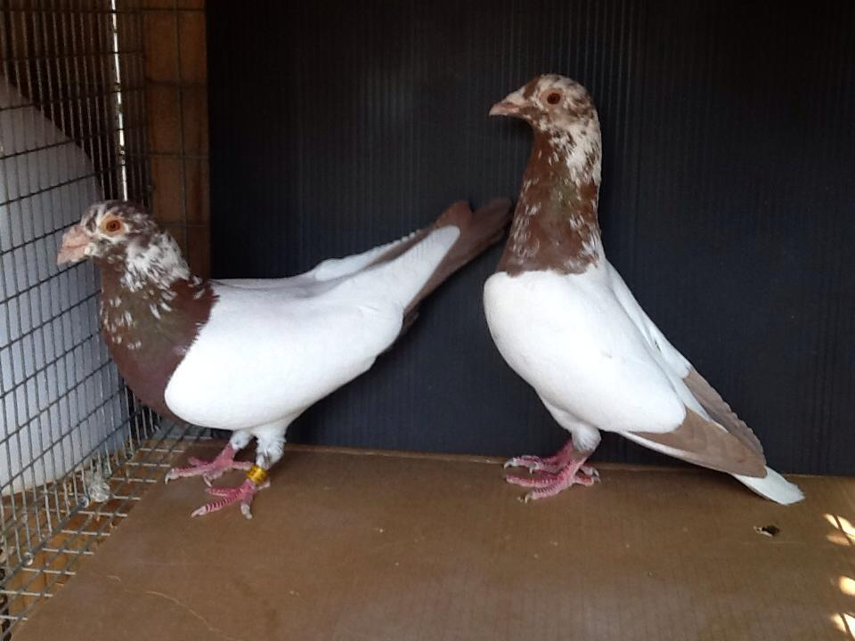 Pigeon Racing in Philippines- The Next Big Thing: September 2016