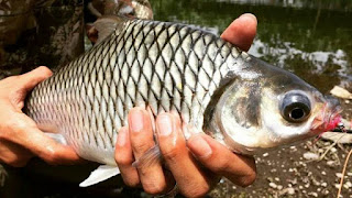 Umpan Jitu Mancing Ikan Tawes Babon