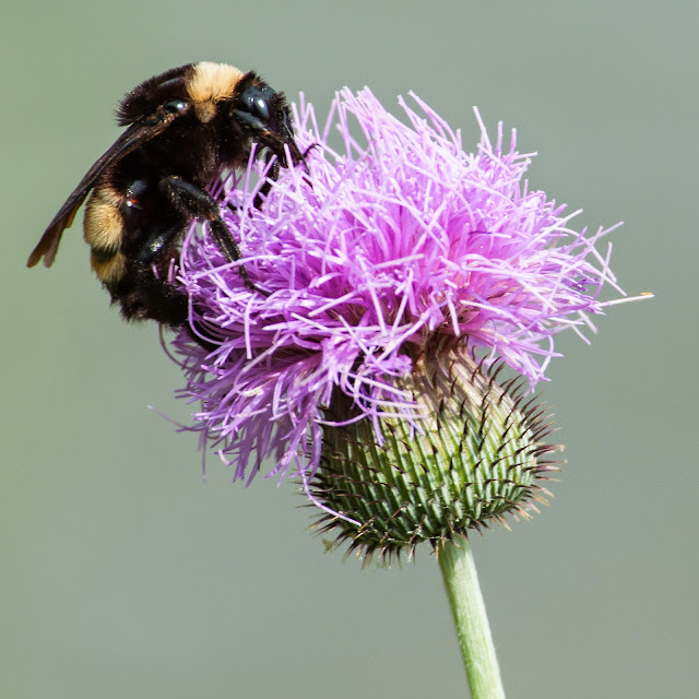 Bumblebee on Thistle, LLELA
