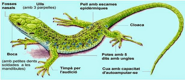 biologia2bachcamp: TEMA 09. 1º ESO. VERTEBRADOS