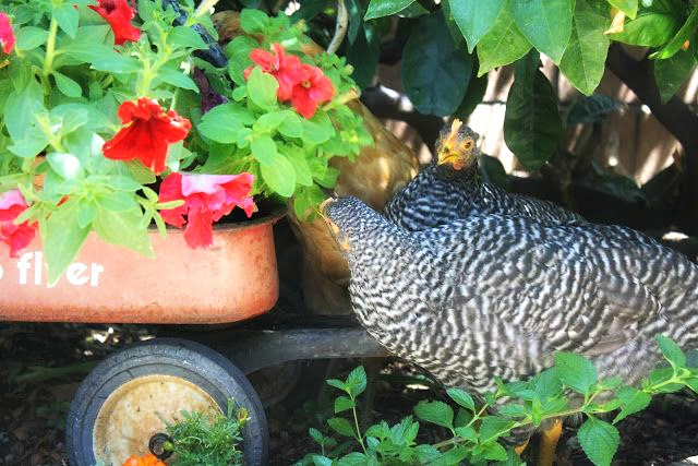 city chickens, urban chickens, little garden in the big city, urban farm, homegrown, what you can grow in a city garden